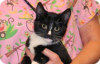 Domestic Mediumhair Kitten for adoption in Wildomar, California - Kalis