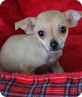 Chihuahua/Dachshund Mix Puppy for adoption in Yuba City, California - Sweet Pea