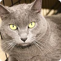 Russian Blue Cat for adoption in Cerritos, California - Misty
