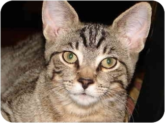 American Shorthair Kitten for adoption in Cuyahoga Falls, Ohio - Claude