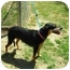 Photo 3 - Doberman Pinscher/Labrador Retriever Mix Dog for adoption in Santee, California - Layla