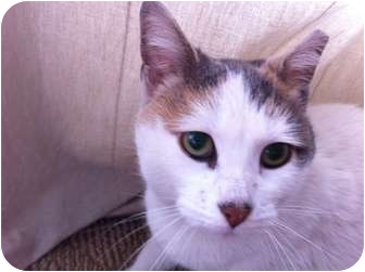 Domestic Shorthair Cat for adoption in Chicago, Illinois - Meeka