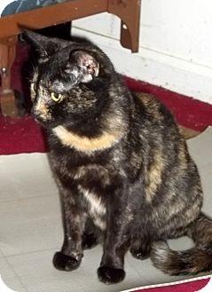 Domestic Shorthair Cat for adoption in Gaffney, South Carolina - Stella
