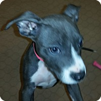Adopt A Pet :: Skye - blue nose pitty pup - Phoenix, AZ