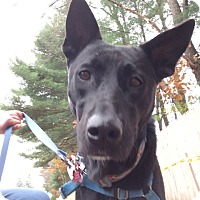 Labrador Retriever/German Shepherd Dog Mix Dog for adoption in Swanzey, New Hampshire - Sonrisa
