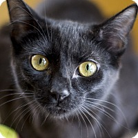 Adopt A Pet :: Primrose - Chicago, IL