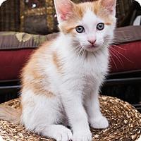Adopt A Pet :: Professor Meowington - Philadelphia, PA