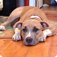 Pit Bull Terrier Mix Dog for adoption in albany, New York - LUCY