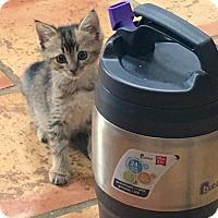 Adopt A Pet :: A388596 Narwhal - San Antonio, TX