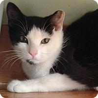 Domestic Shorthair Cat for adoption in Brimfield, Massachusetts - Left Eye Lisa