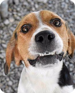 Beagle Mix Dog for adoption in Huntsville, Alabama - Topper