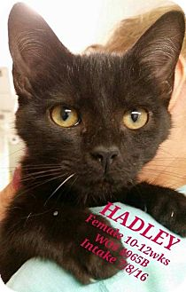 Domestic Shorthair Cat for adoption in Fayetteville, West Virginia - Hadley