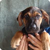 Adopt A Pet :: Maze - Oviedo, FL