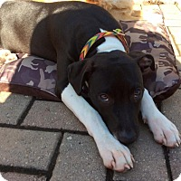 American Pit Bull Terrier Mix Puppy for adoption in Oak Lawn, Illinois - Ellie