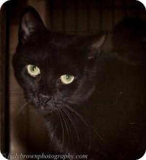 Domestic Shorthair Cat for adoption in Wellesley, Massachusetts - Nina