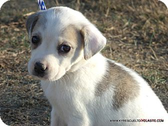 Australian Shepherd/Labrador Retriever Mix Puppy for adoption in Waterbury, Connecticut - MADISON/ADOPTED
