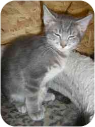 Domestic Shorthair Cat for adoption in Strathmore, Alberta - Gatsby
