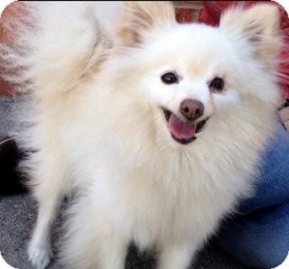 Pomeranian Mix Dog for adoption in Los Angeles, California - Sheldon *VIDEO*