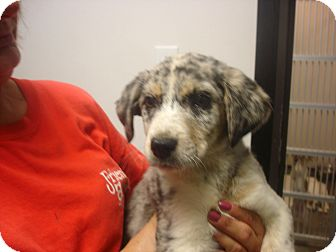 Border Collie/German Shepherd Dog Mix Puppy for adoption in baltimore, Maryland - Cotton