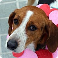 Adopt A Pet :: Savanna - Richmond, VA