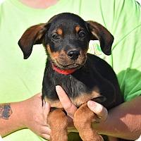 Adopt A Pet :: Herbert - Charlemont, MA