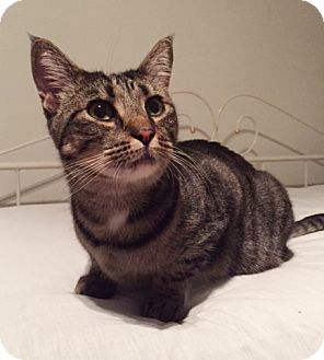 Domestic Shorthair Cat for adoption in Brooklyn, New York - Celestina