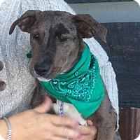 Adopt A Pet :: Darlin - Buffalo, NY