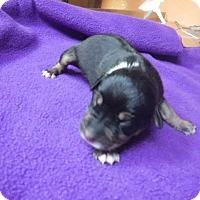 Adopt A Pet :: Doozie - Batesville, AR