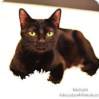 Adopt A Pet :: Midnight - Xenia, OH