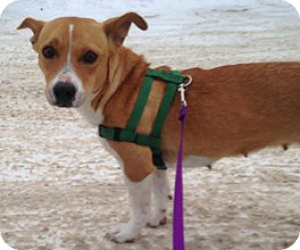 Welsh Corgi/Basset Hound Mix Dog for adoption in Georgetown, Colorado - Curry