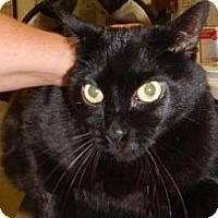 Domestic Shorthair Cat for adoption in Kalamazoo, Michigan - Zohan