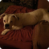 Adopt A Pet :: Amelia Airhart - Dayton, OH