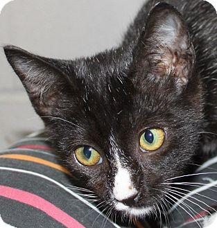 Domestic Shorthair Kitten for adoption in Friendswood, Texas - Dusty
