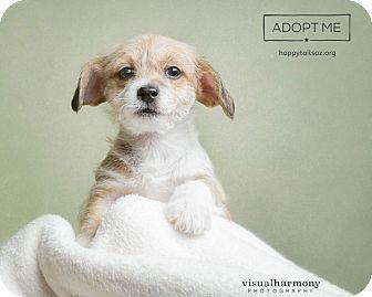 Terrier (Unknown Type, Medium)/Chihuahua Mix Puppy for adoption in Chandler, Arizona - Duke