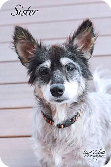 Blue Heeler Mix Dog for adoption in Fort Worth, Texas - SISTER