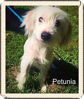 Chinese Crested Mix Dog for adoption in Jasper, Indiana - Petuina