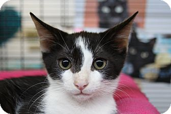 Domestic Shorthair Kitten for adoption in Sarasota, Florida - Lancelot