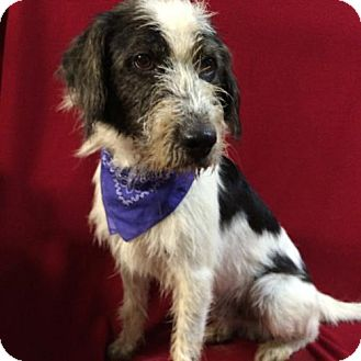 Bearded Collie Mix Dog for adoption in Thomspn, Connecticut - Gallagher