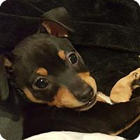 Adopt A Pet :: 403398 Pedro - San Antonio, TX