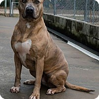 Adopt A Pet :: Amaya - Aiken, SC