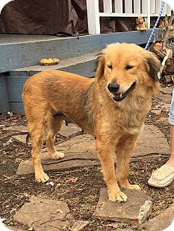 golden retriever texas austin tx golden retriever mix meet katie a dog for 4489
