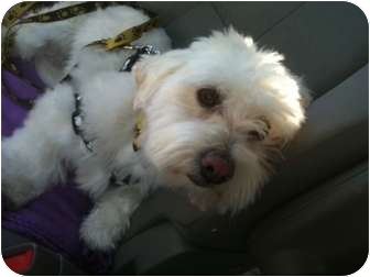 maltese westie mix willy adopted dog rancho mirage ca westie west 3868