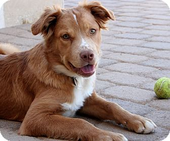 Australian Shepherd/Labrador Retriever Mix Puppy for adoption in ...