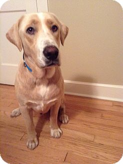 Labrador Retriever Mix Dog for adoption in Brattleboro, Vermont - Levi