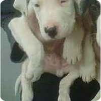 Adopt A Pet :: Nicky - Courtesy - Holly Springs, NC