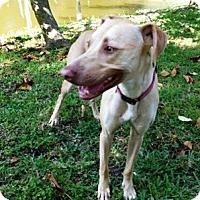 Adopt A Pet :: Piglet - Sarasota, FL