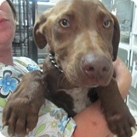 Adopt A Pet :: Chocolate (ADOPTED!) - Chicago, IL