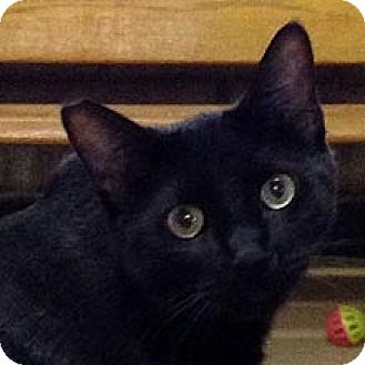 Domestic Shorthair Cat for adoption in Phoenix, Arizona - Paladin