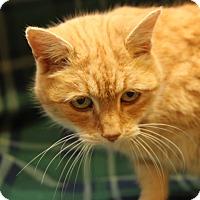 Adopt A Pet :: Goldie (Spayed) - Marietta, OH