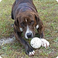 Adopt A Pet :: Violet - Williston, FL